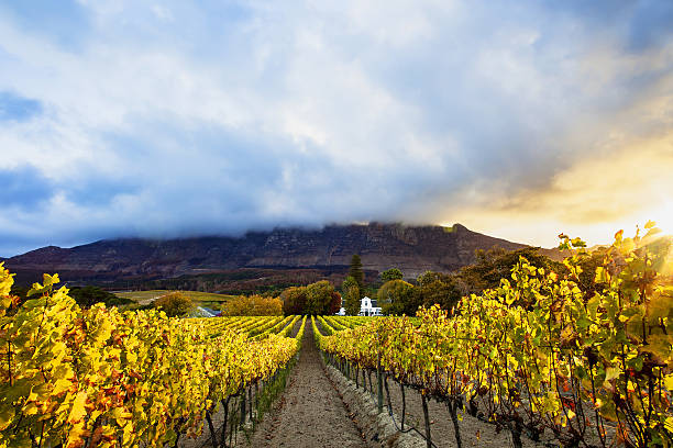 autumn vineyards, cape town, south africa - südliches afrika stock-fotos und bilder