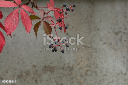 Autumn Virginia Creeper On A Concrete Wall Background Stock Photo & More Pictures of Autumn