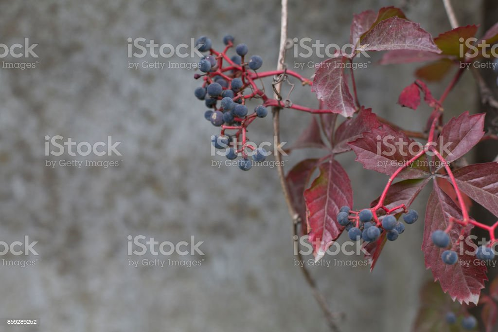 Autumn virginia creeper on a concrete wall background royalty-free stock photo