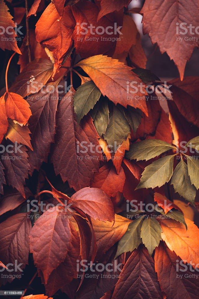 Autumn Virginia Creeper stock photo