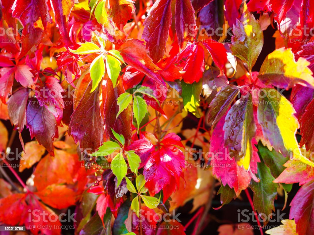 Autumn Virginia creeper stock photo