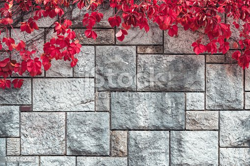 Colorful autumn background: Virginia creeper plant in autumn (red) colors.