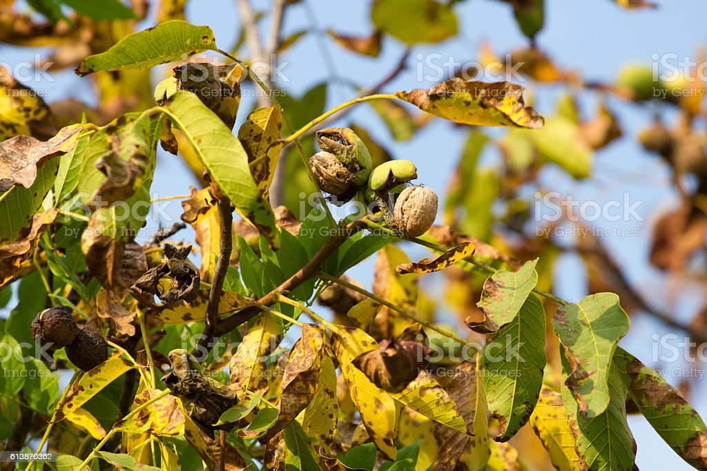 Autumn walnut tree with cracked open ripe fruits. Branch  green stock photo
