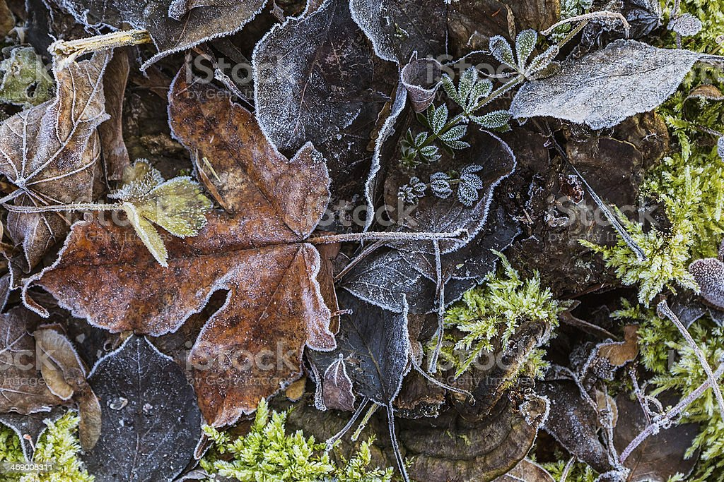Autumn wet leaves with hoarfrost royalty-free stock photo
