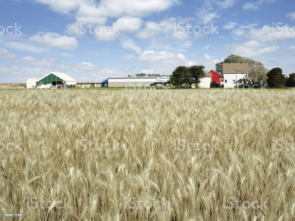 XXXL autumn wheat farm royalty-free stock photo
