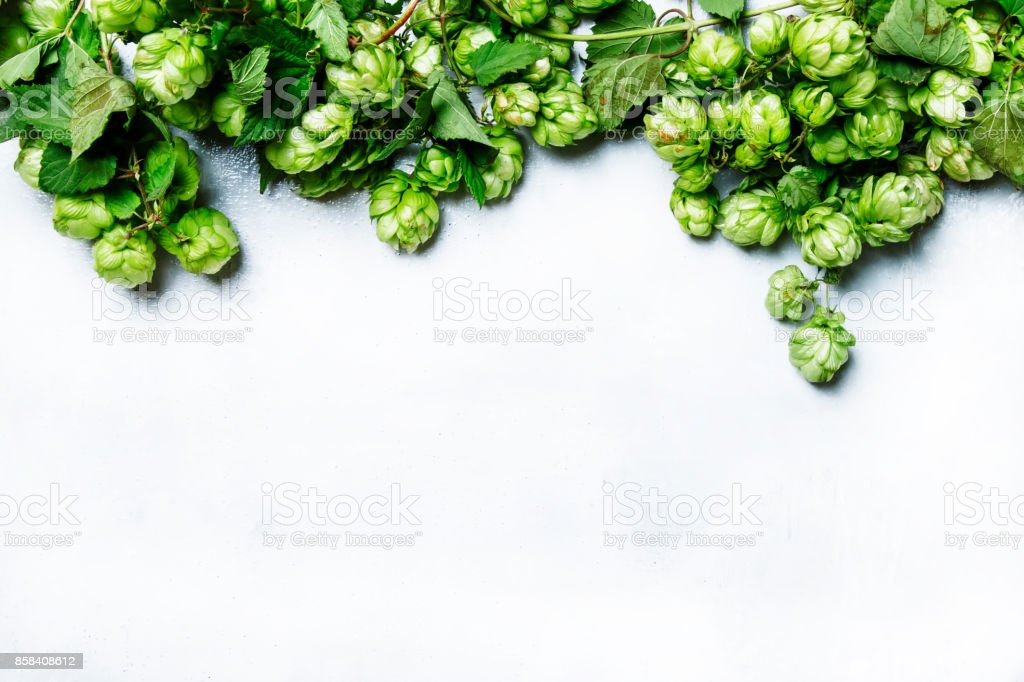Autumn white background with green hop cones on the vine stock photo