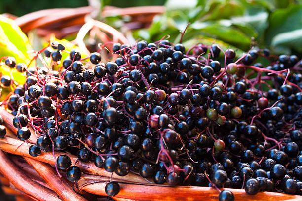 Autumn Wicker basket with ripe black Elderberries stock photo