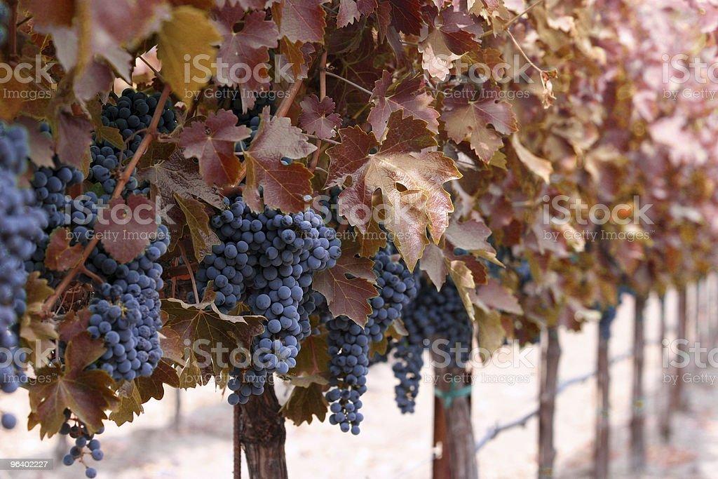 秋のワイナリー - つる草のロイヤリティフリーストックフォト