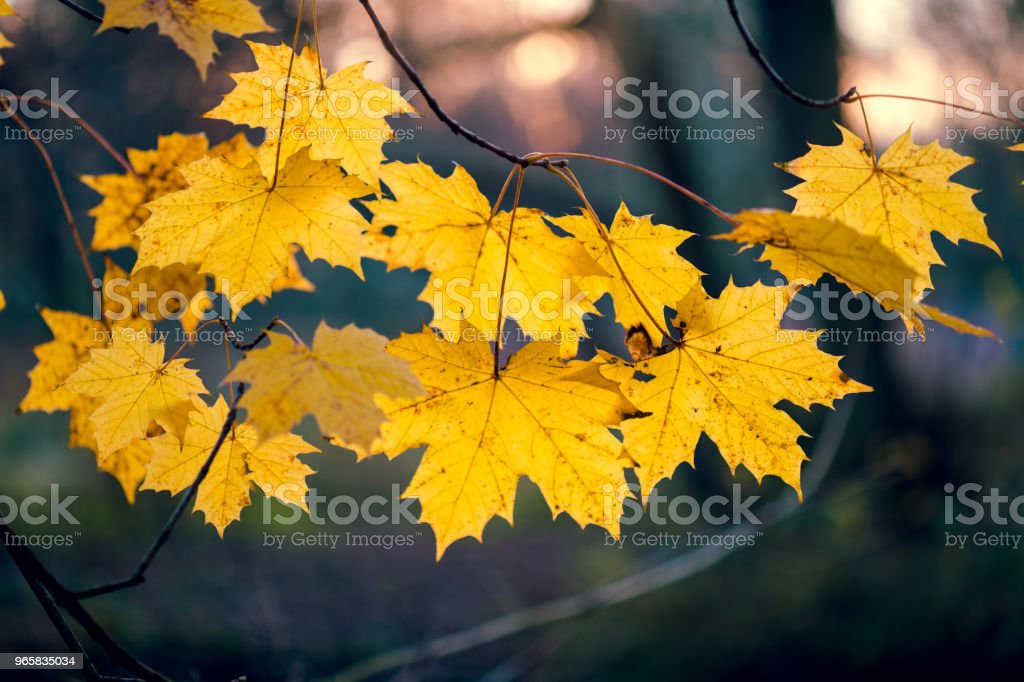 Autumn with last yellow maple leaves on trees branch in evening light - Royalty-free Autumn Stock Photo