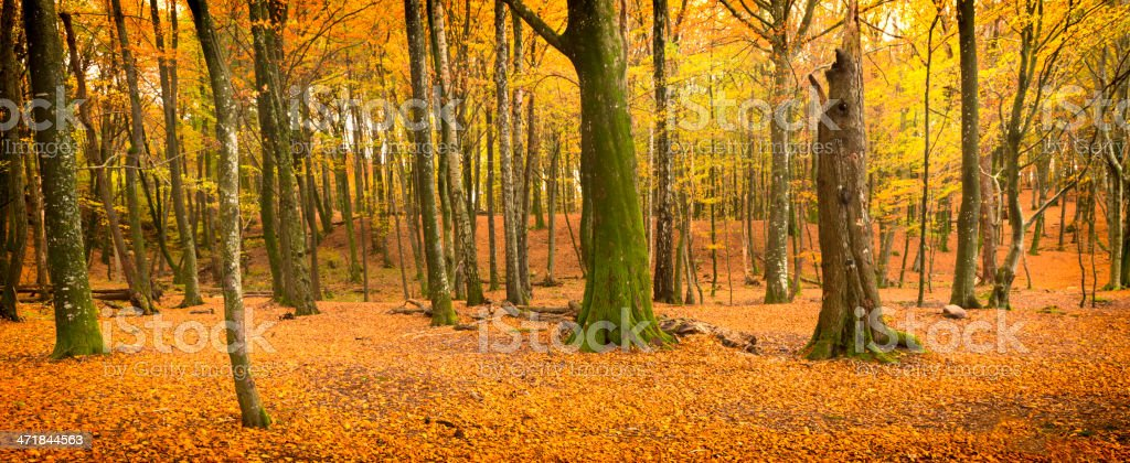 Autumn woods panorama royalty-free stock photo