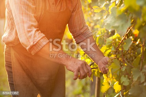 istock Autumn work in vineyard - harvesting grapes 520421352