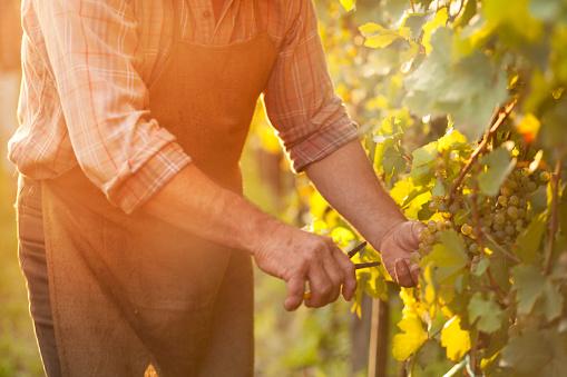 Autumn work in vineyard - harvesting grapes