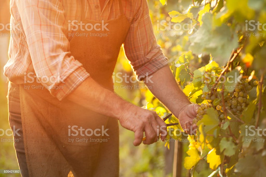 Autumn work in vineyard - harvesting grapes stock photo