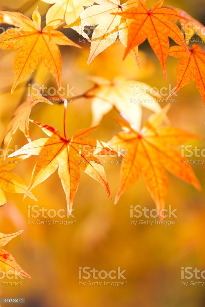Autumn Yellow and Orange Leaves With Morning Sunlight stock photo