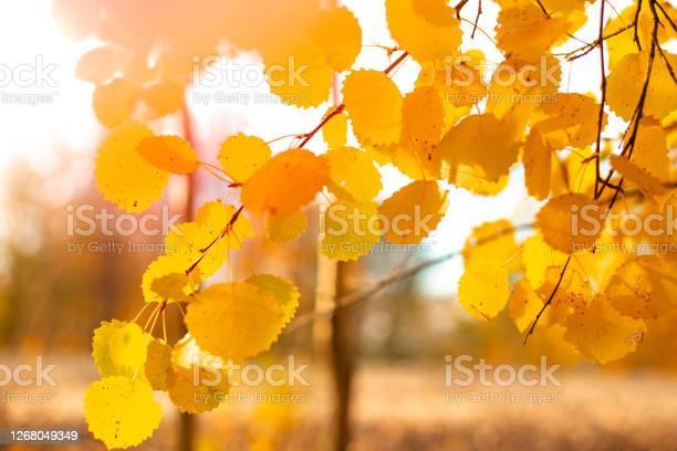 Photo of Autumn yellow foliage on an aspen branch. Seasonal atmospheric landscape.