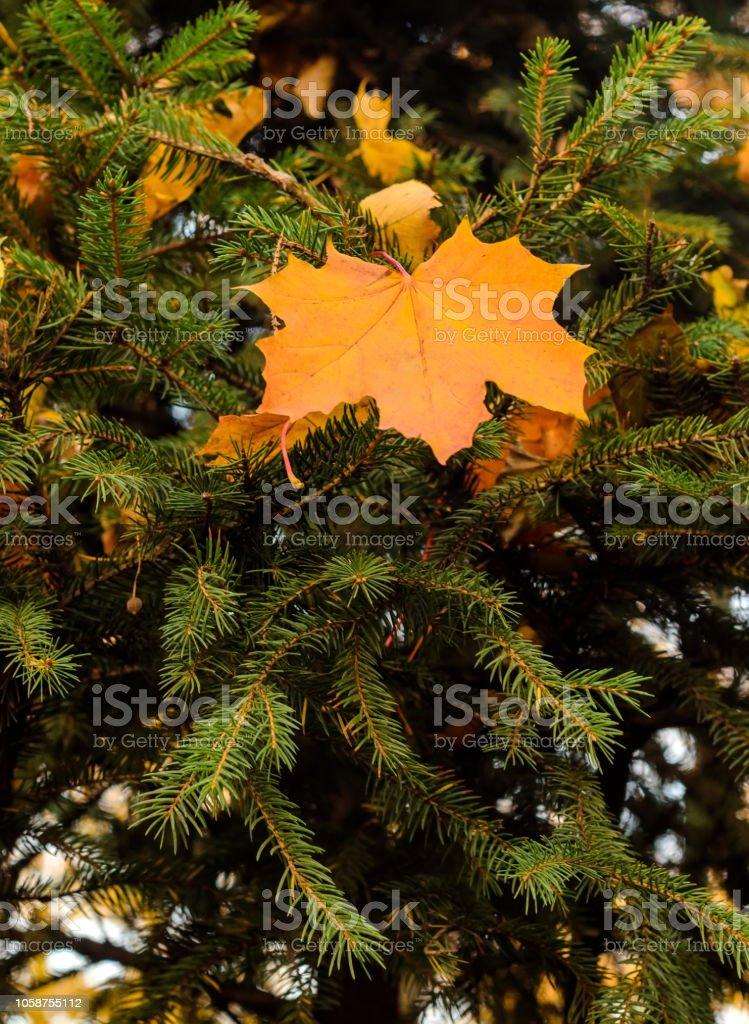 autumn yellow leaf on spruce green tree stock photo