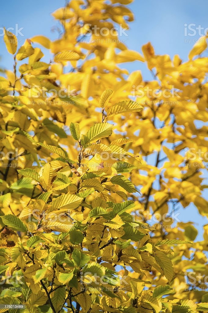 Autumn yellow leafs close-up royalty-free stock photo