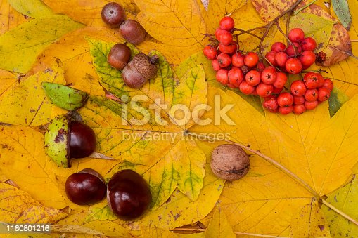 Background made of autumn yellow leaves of sycamore species of maple, horse chestnuts, acorns and rowanberry