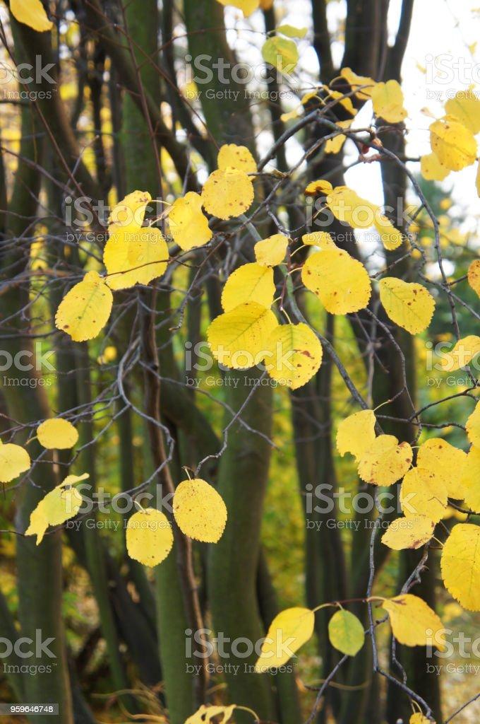 Las hojas de otoño amarillo de amelanchier spicata o baja juneberry o shadbush matorral o enano serviceberry o serviceberry bajo árbol - Foto de stock de Alimento libre de derechos