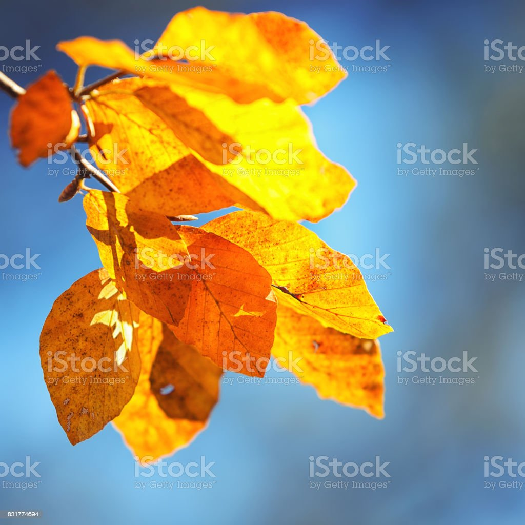 Autumn yellow leaves of aspen stock photo