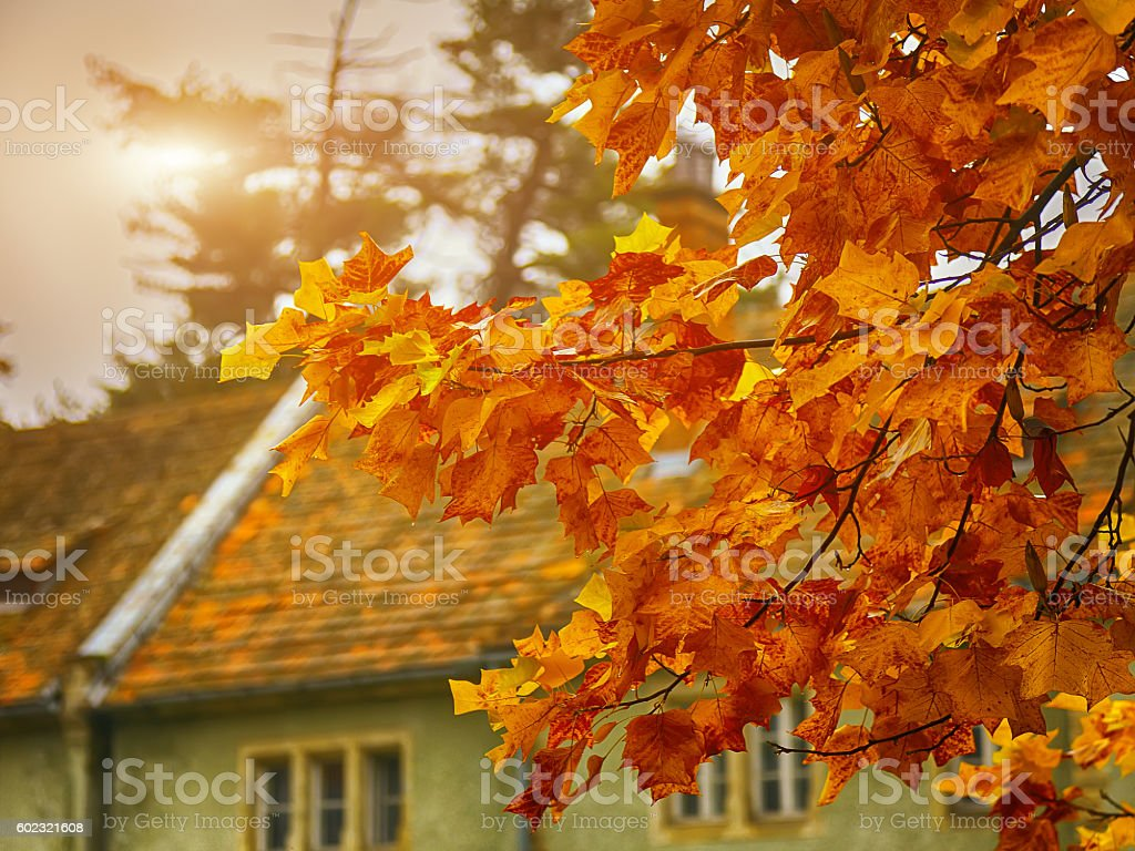 Autumn yellow leaves of maple stock photo