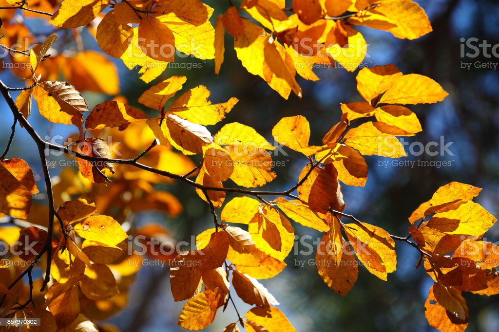 Autumn yellow leaves of poplar against blue sky stock photo