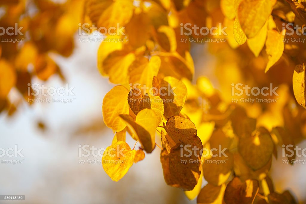 Autumn yellow leaves of poplar stock photo