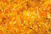 Yellow maple leaves. Autumn background.