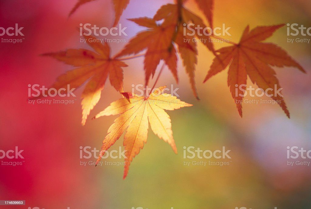 Autumn yellow leaves royalty-free stock photo