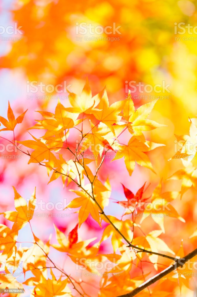 Autumn Yellow Leaves With Morning Sunlight stock photo