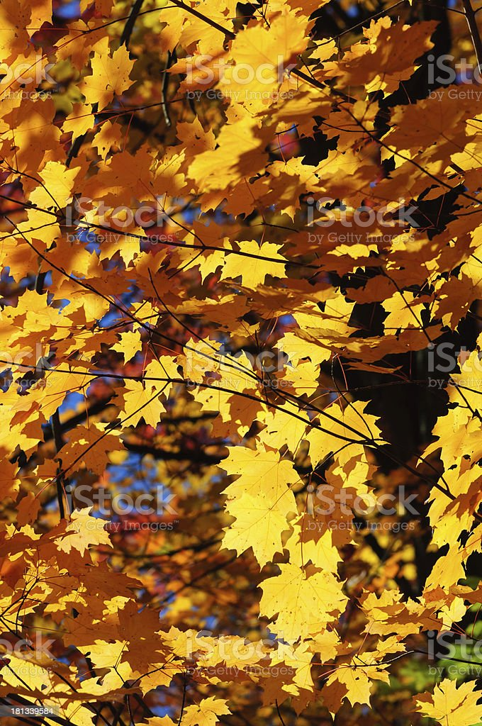 Autumn yellow maple leaves background royalty-free stock photo