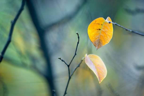 Follaje de árbol amarillo otoñal con ramas negras. - foto de stock