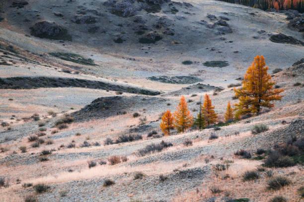 de gele bomen en de heuvels van de herfst met ochtendhoarfrost - altai nature reserve stockfoto's en -beelden