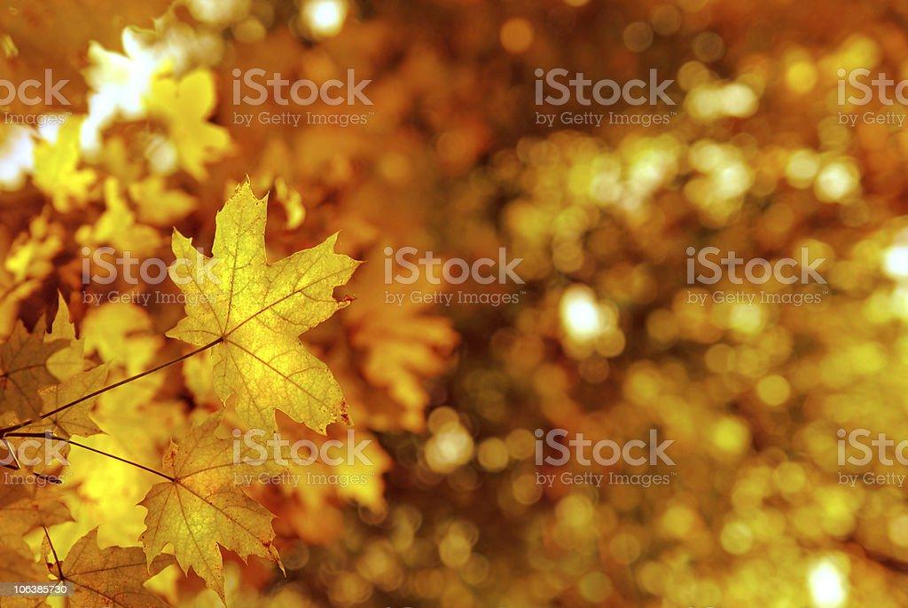 autumn yellows leaves stock photo