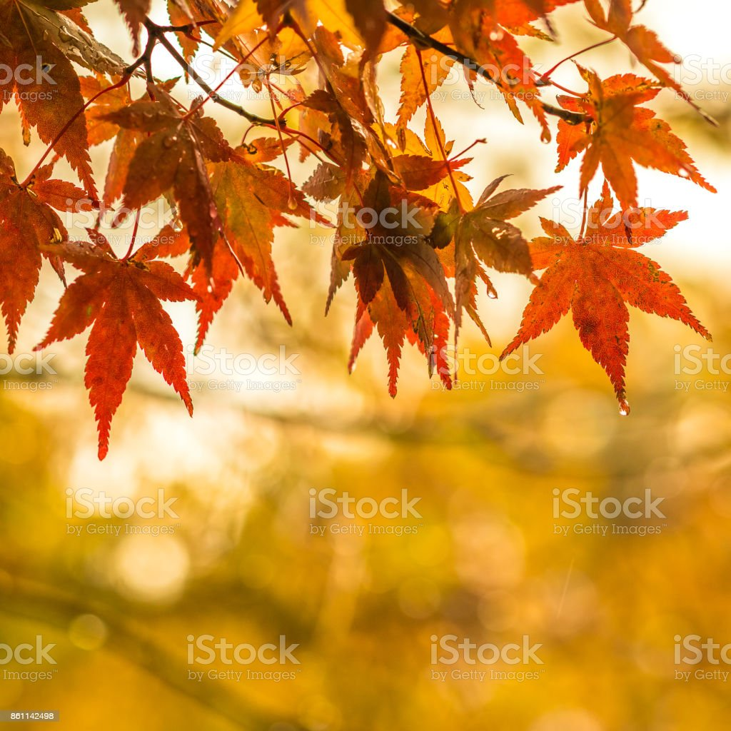 autumnal background, slightly defocused red marple leaves with water drops stock photo