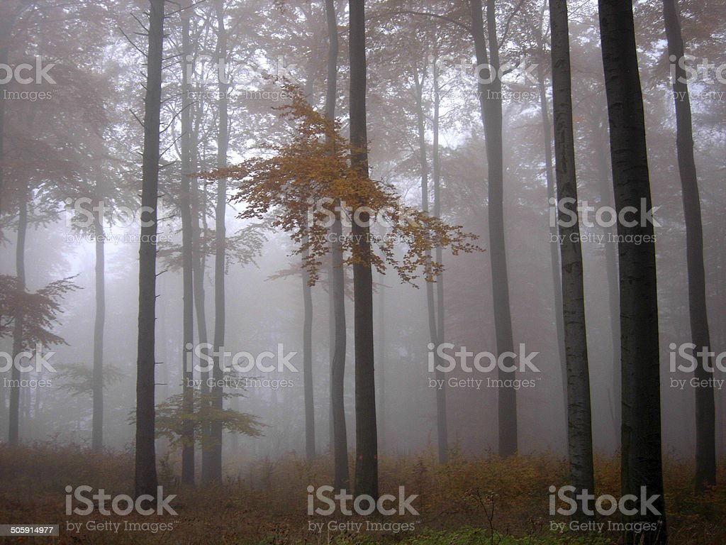 Autumnal beech forest in the fog stock photo