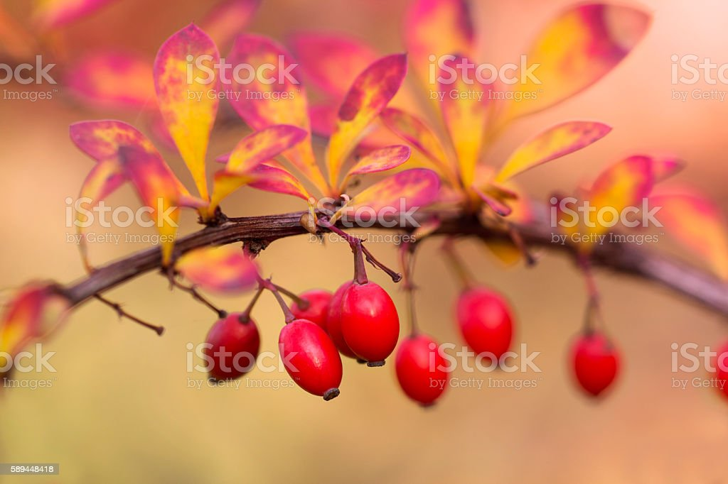 Autumnal Berberis stock photo
