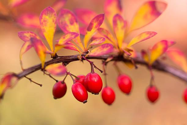 Autumnal Berberis stock photo