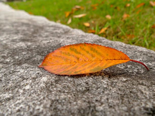 autumnal colored leaf on wall stock photo