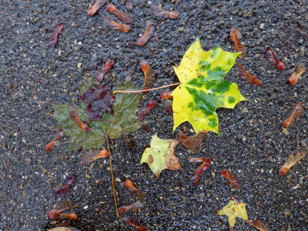 autumnal colored maple leaves with seeds on a wet street stock photo