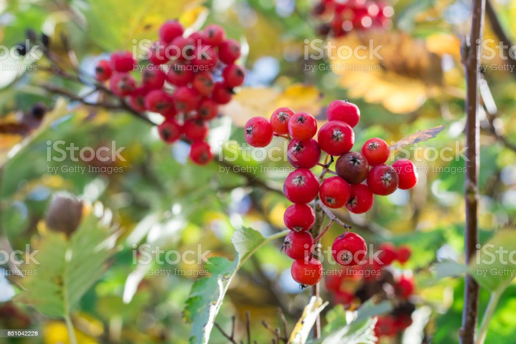 Autumnal colors of leaves and rowan berries stock photo