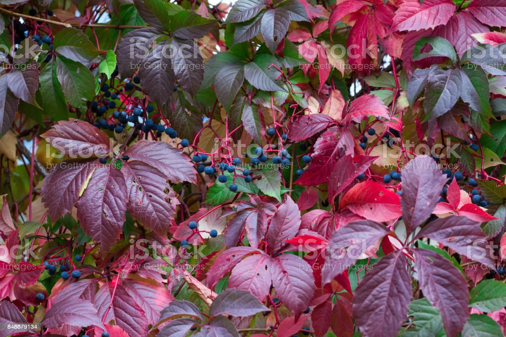 Autumnal colors of purple, green leaves and berries stock photo