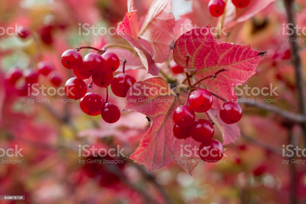 Autumnal colors of purple, red leaves and berries of bushes stock photo