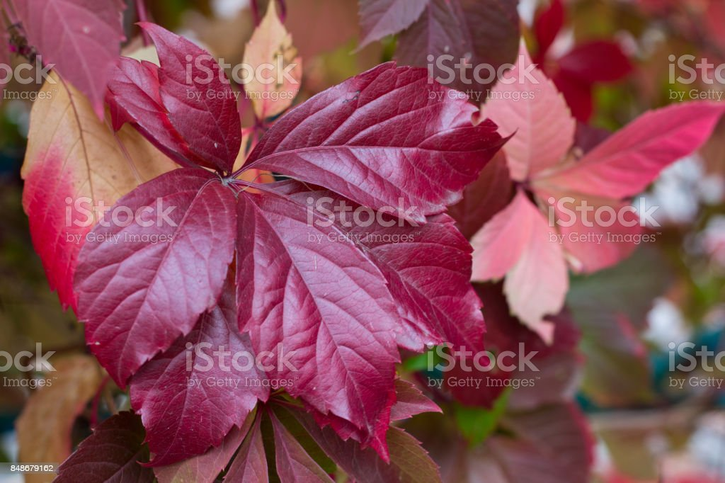 Autumnal colors of purple, red leaves and berries of grapes stock photo