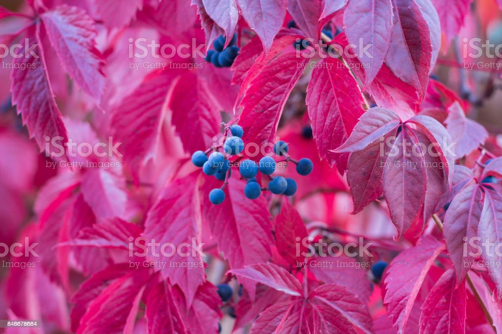 Autumnal colors of purple, red leaves and berries of trees stock photo