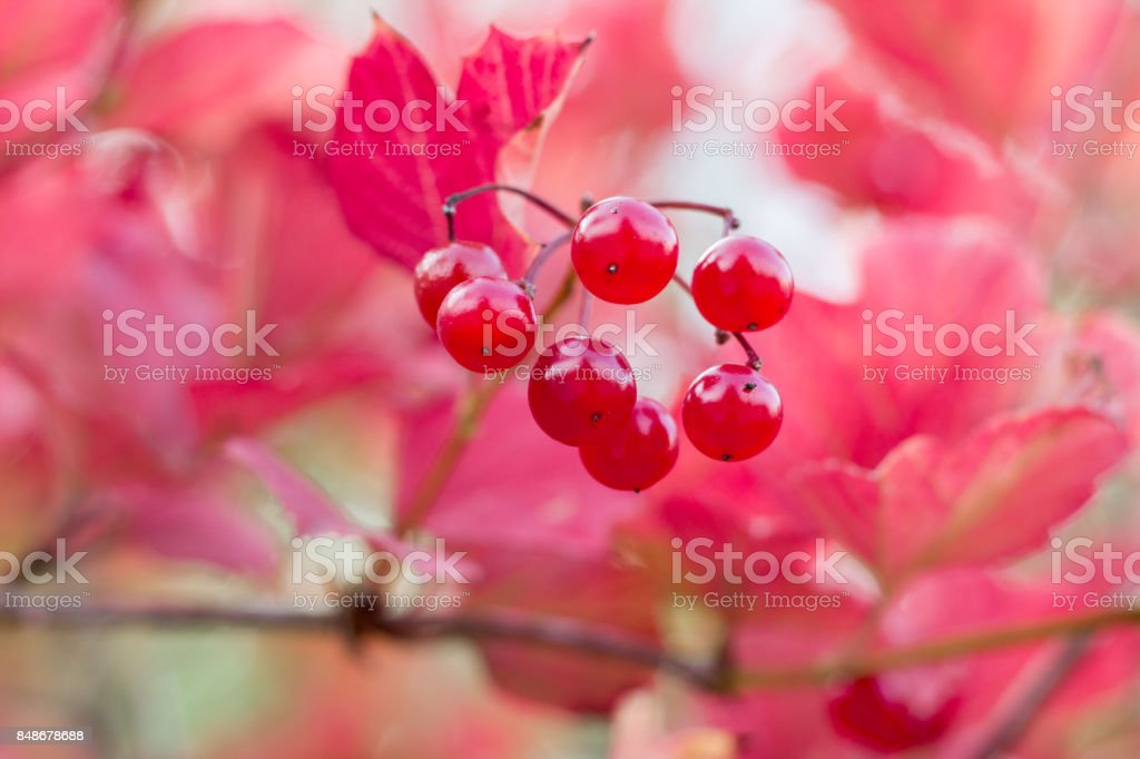 Autumnal colors of purple, red leaves and berries stock photo