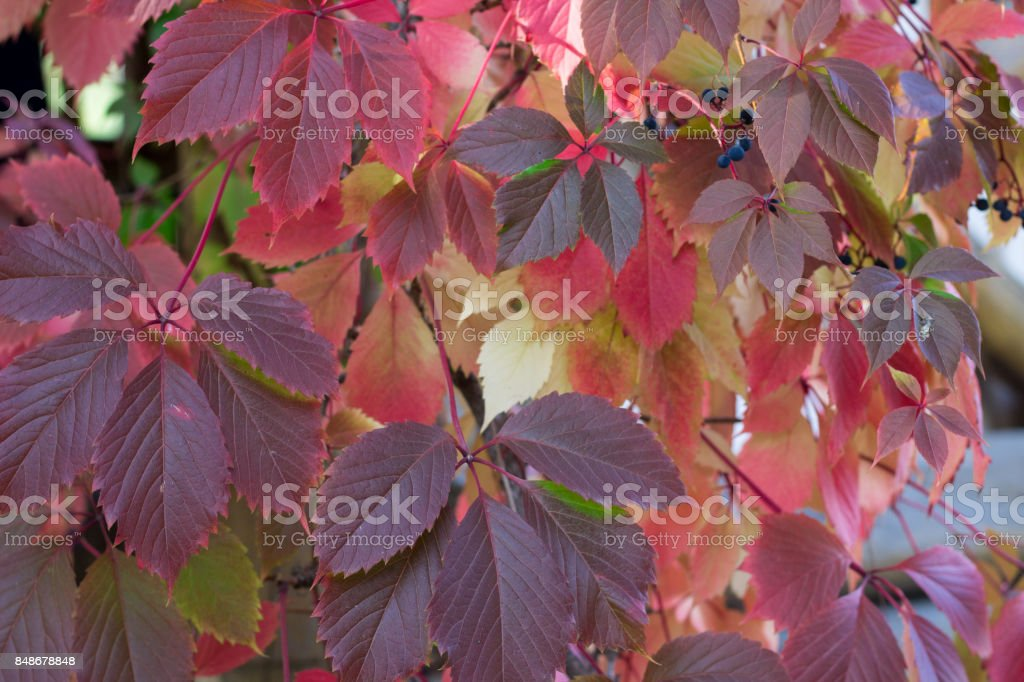 Autumnal colors of purple, red leaves of grapes stock photo