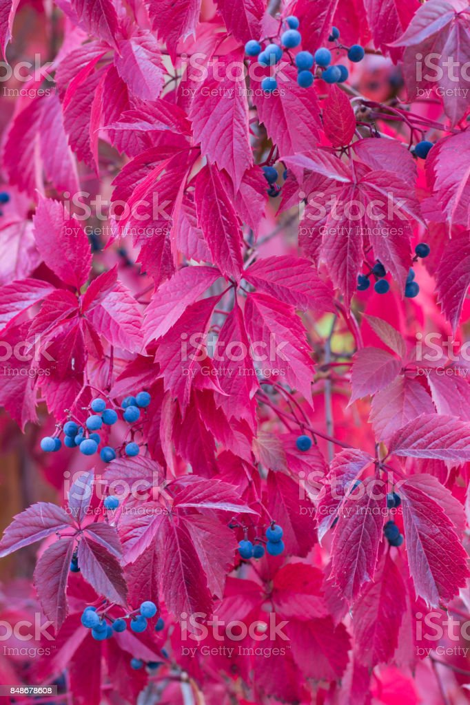 Autumnal colors of purple, red leaves of trees stock photo