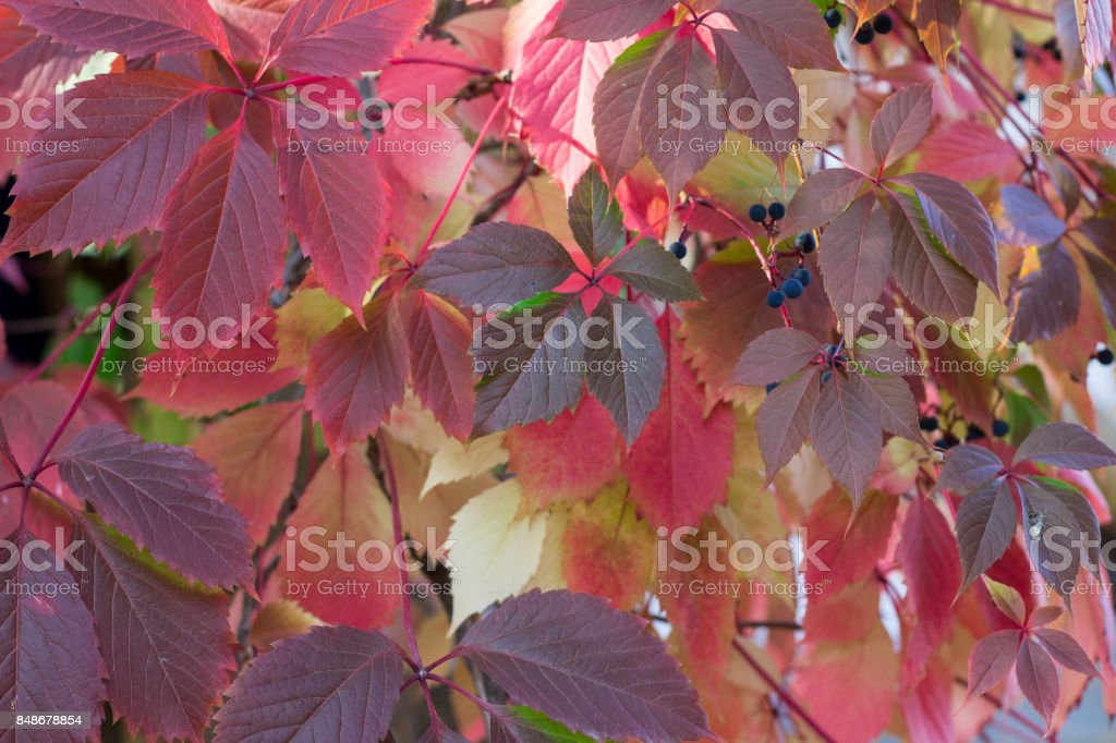 Autumnal colors of purple, red leaves of wild grapes stock photo