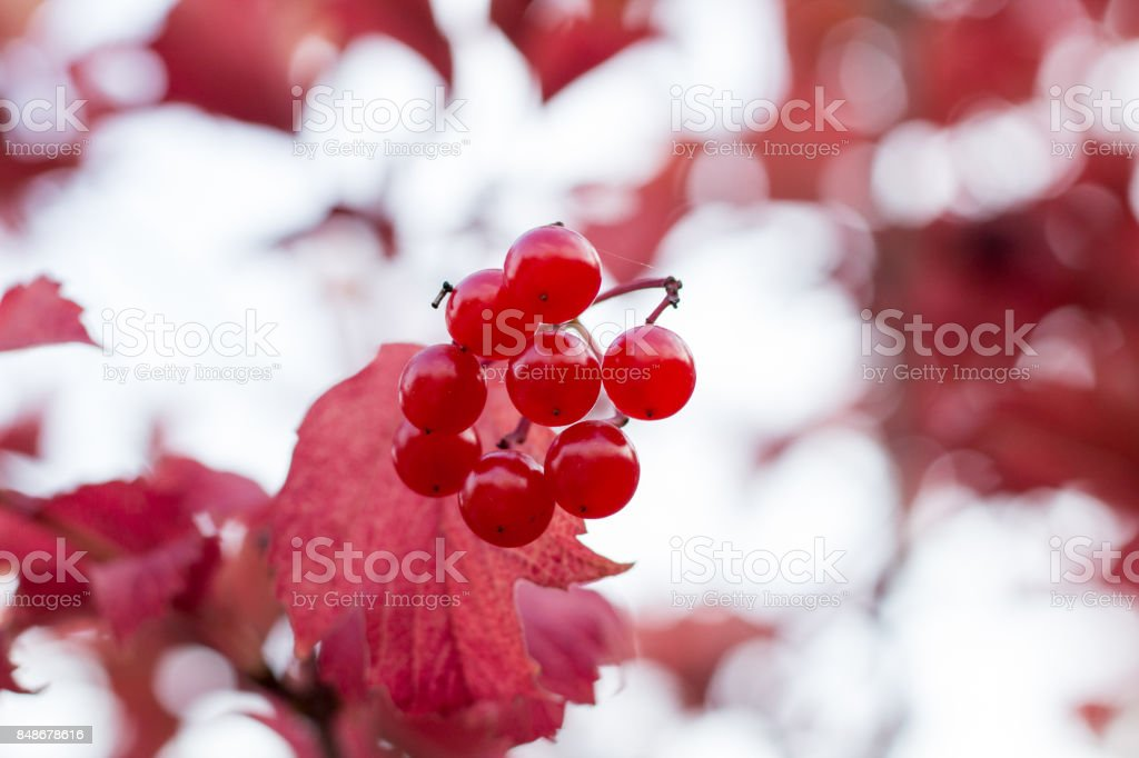 Autumnal colors of red leaves and berries of trees stock photo